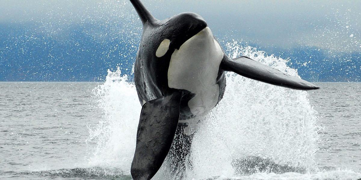 Orca Sightings Vancouver Island
